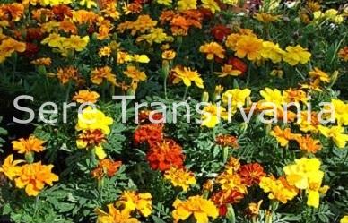Cultivarea plantelor floricole în seră
