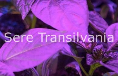 Plantelor le place violetul