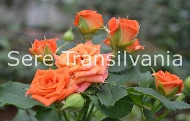 Folosirea ecranelor termice și de umbrire la culturile de trandafiri în sere și solarii